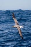Albatros timide non mûr en vol Image stock