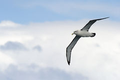 Albatros w locie Obraz Royalty Free