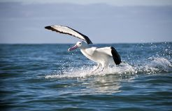 albatros wielki Fotografia Royalty Free