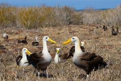 Albatros zwei, der aus den Grund sitzt Die Galapagos-Inseln vögel ecuador Lizenzfreies Stockbild