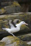 albatrosa browed czarny Fotografia Royalty Free