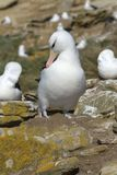 albatrosa czarny diomedea melanophris Obraz Royalty Free