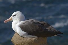 albatrosa czarny diomedea melanophris Obraz Stock
