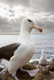 albatrosa czarny falkand wyspy Obrazy Royalty Free