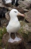 albatrosa czarny falkand wyspy Obraz Royalty Free