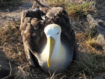 Albatross Royalty Free Stock Photo