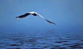 Albatross Stock Image