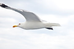 Albatross Stock Photography