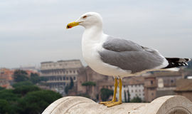 Albatross. An albatross watching the Colosseum in Rome royalty free stock photo