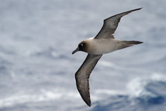 Albatross. Light-mantled Sooty Albatross flying with ocean in background Royalty Free Stock Image