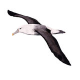 albatross Immagine Stock