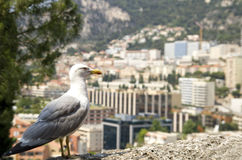 Albatross against Monaco. Stock Photos