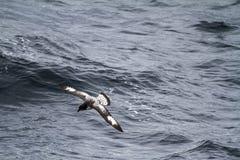 Albatross in Antarctica Stock Photo