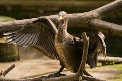 Albatross bird with Royalty Free Stock Photo