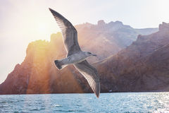 Albatross bird flight in sunny sky on ridge of rocks. Kara - Dag in Crimea Royalty Free Stock Photo