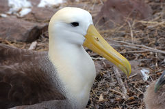 Albatross bird, Galapagos. Royalty Free Stock Images