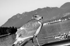 Albatross bird. Resting on Vancouver pier Stock Photo