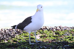 Albatross bird. On rocks at sea Stock Photography