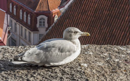 Albatross Bird. On The Roof Royalty Free Stock Photos
