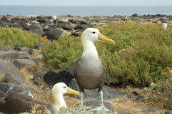 Albatross birds, Galapagos. Royalty Free Stock Photos