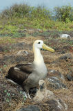 Albatross birds, Galapagos. Stock Images