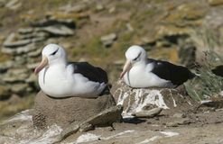 Albatross Black-browed Fotos de Stock Royalty Free