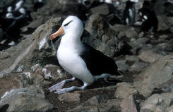 albatross black browed falkland islands 库存照片