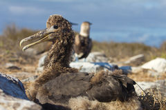 Albatross Chick Stock Photo