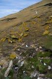 Albatross Colony - Saunder's Island