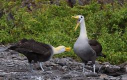 Albatross courtship galapagos. Courtship ritual of the albatross on Espagnola Island Hood - Galapagos royalty free stock photos