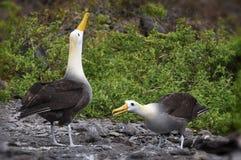 Albatross courtship galapagos. Courtship ritual of the albatross on Espagnola Island Hood - Galapagos royalty free stock photo
