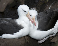 Albatross Cuddle. Two Black-browed Albatross cuddling on the nest - Falklands stock images