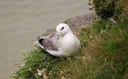 Albatross. Curious albatross resting on the sea shore in Ireland stock image