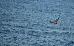 Albatross e mar do Cararibe fotografia de stock