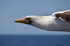 Albatross Royalty Free Stock Images