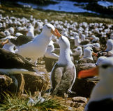 Albatross, Falkland Islands. Two black-browed albatrosses touch and caress each other's beaks in the largest black-browed albatross colony in the world on stock photography