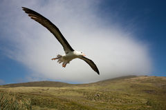 Albatross In Flight. Black-bowed albatross with it's wings fully extended, glides over a grassy hillside Royalty Free Stock Photography
