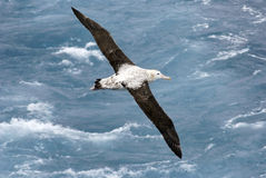 Albatross in flight. Overhead view of a Wandering Albatross (Diomedea exulans) in flight over the Atlantic Ocean royalty free stock images