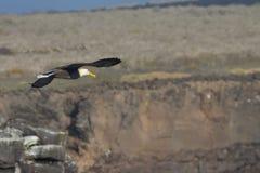 Albatross in Flight. An Albatross in flight over the coast Stock Photos