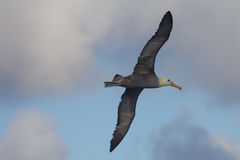Albatross in Flight. An albatross flying in the galapagos islands Royalty Free Stock Photos