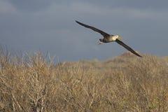 Albatross in Flight. An albatross flying over the galapagos islands Stock Photos