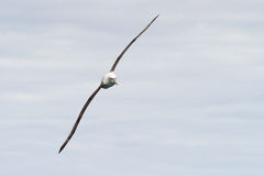 Albatross in flight Royalty Free Stock Photo
