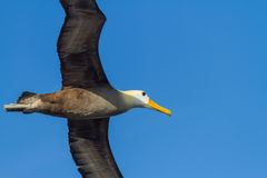 Albatross in Flight. A waved albatross in flight in the Galapagos Islands royalty free stock photo
