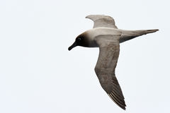 Albatross flying against a white sky Royalty Free Stock Photography