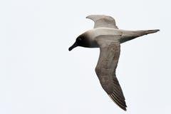 Albatross flying against a white sky. Light-mantled Sooty Albatross flying Royalty Free Stock Photography