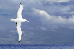Albatross flying over dark ocean Royalty Free Stock Images