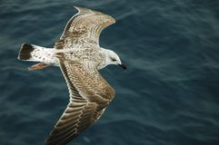 Albatross flying over the sea. Following the boat royalty free stock photo