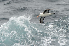 Albatross flying between waves. Black-browed albatross flying between waves Royalty Free Stock Photos