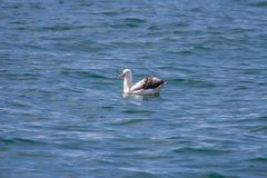 An Albatross found on a whale watching tour in Kaikoura New Zealand stock photos