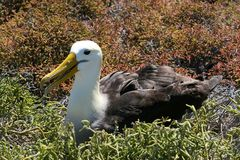 Albatross, Galapagos Royalty Free Stock Images